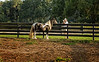 Larry Jordan shoots a gypsy vanner horse at Gypsy Gold Farms, Ocala, Florida.
