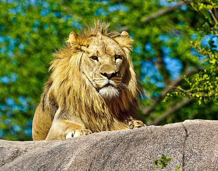 African Lion at the Seneca Park Zoo in Rochester