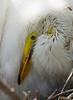 Cattle egret chick. Gatorland in Orlando, Florida.
