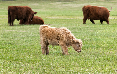 Highland Cows in Bayfield, CO