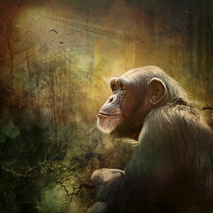 Chimp Contemplation
