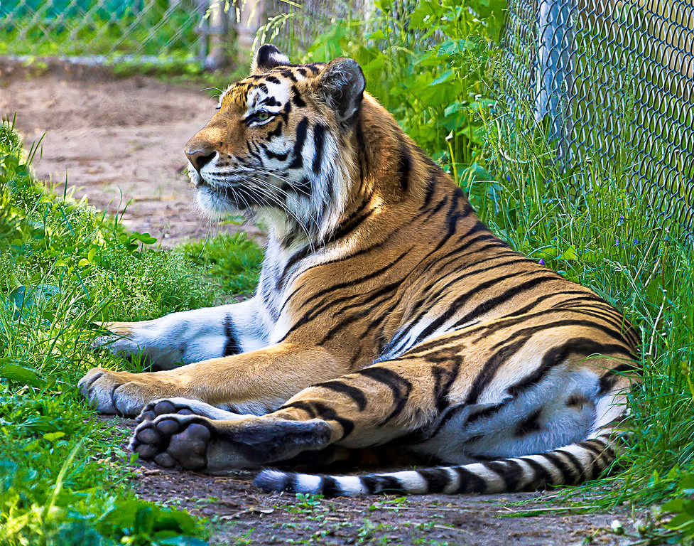 Amur Tiger at the Seneca Park Zoo in Rochester