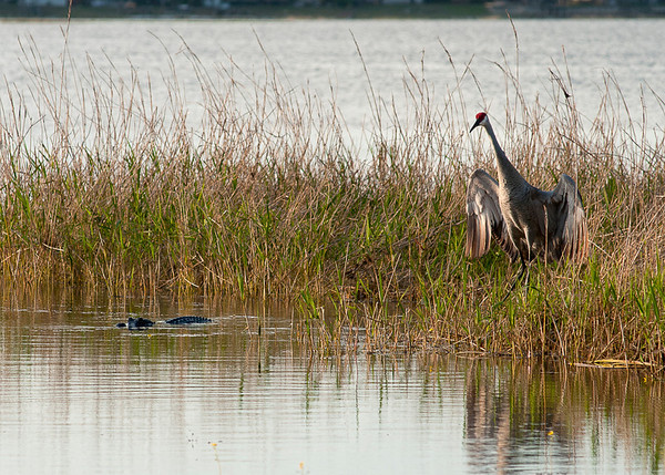 The gator came close to the feet of the Florida Sand Hill Crane, thought better of it, and retreated. The crane, a Florida resident, stood her ground. (Shot from our dock.)