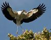 Wood Stork. Saint Augustine Aligator Farm, Florida.