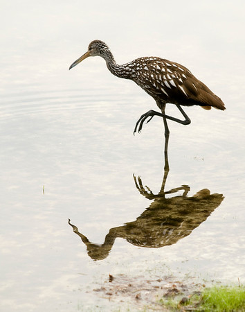Limpkin next to our dock on Lake Hernando.