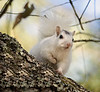 Native white squirrel in Ochlockonee River State Park.