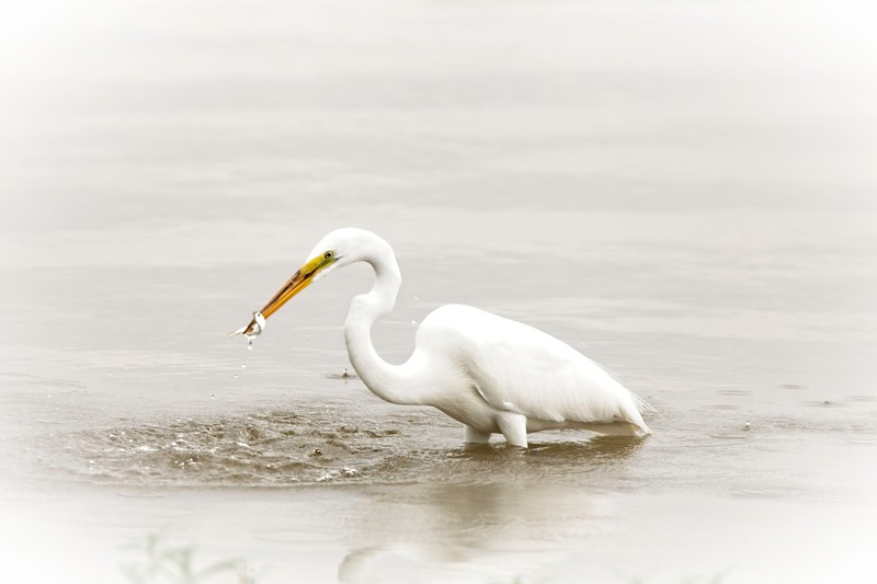Great White Egret with Dinner