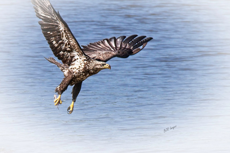 Immature Bald Eagle with Lunch