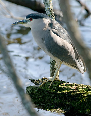 Blacked-Crowned Night-Heron. Gatorland in Orlando, Florida.