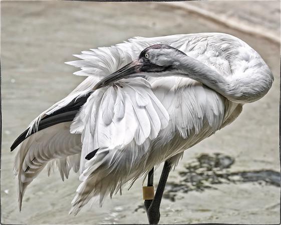 Whooping Crane in the Homasassa Springs Wildlife Park, Florida.