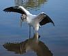 Wood Stork. Gatorland in Orlando, Florida.