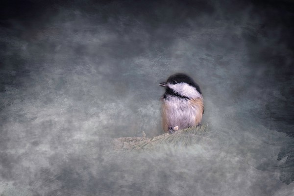 Cute Little Chickadee