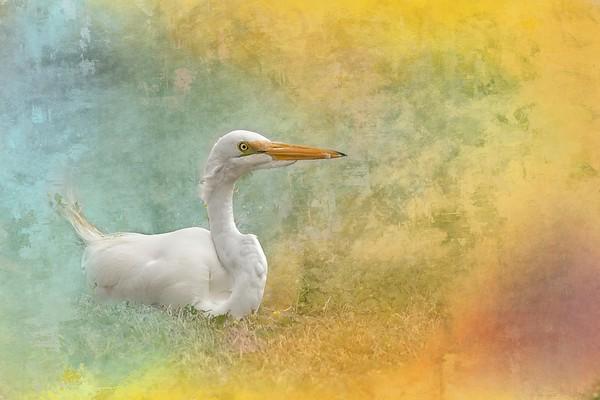 Resting Great White Egret