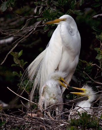 White egrets. Saint Augustine Aligator Farm, Florida.