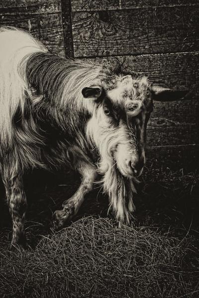 Goat #7 (Stinky)