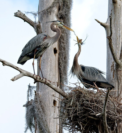 Cooperative nest building. Circle B Bar Preserve, Lakeland, Florida.