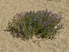 <em>Medicago sativa</em>, Alfalfa, Eurasia.  <em>Fabaceae</em> (=<em>Leguminosae</em>, Legume family). Crown Beach, Alameda, Alameda Co., CA, 2012/05/22, jm2p779