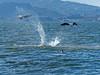 California Sealine,<em> Zalophus californianus</em>, catching sharks. Crown Beach, Alameda, Alameda Co., CA  2012/10/05