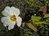 <em>Cystus salviifolia</em>, Sage Leaf Rock-rose, Europe.  <em>Cistaceae</em> (Rock-rose family). Crown Beach, Alameda, Alameda Co., CA, 2011/11/30, jm2p649
