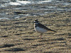 Killdeer, <em>Charadrus vociferus</em> Crown Beach, Alameda, Alameda Co., CA 12/23/2011