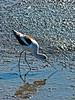 American Avocet, <em>Recurvirostra americana</em> Crown Beach, Alameda, Alameda Co., CA, 2014/12/27