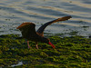 Black Oystercatcher, <em>Haematopus bachmani</em> San Francisco Bay, Alameda, Alameda Co., CA 11/29/2011