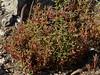 <em>Salsola soda</em>, Salsola, southern Europe.  <em>Chenopodiaceae</em> (Goosefoot family). Crab Cove, Alameda, Alameda County, CA 2012/09/10  jm2p648