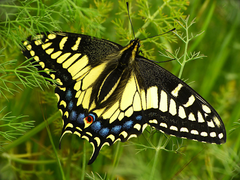 Anise Swallowtail, <em>Papilio zelicaon</em> Crown Beach, Alameda, Alameda Co., CA 2012/03/30