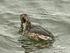 Horned Grebe, <em>Podiceps auritus</em> Ballena Bay, Alameda, Alameda Co., CA 2012/03/30