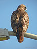 Red-tailed Hawk, Buteo jamaicensis<br /> Crown Beach (Shore Line Dr. & Kitty Hawk Rd.) Alameda, Alameda Co., CA