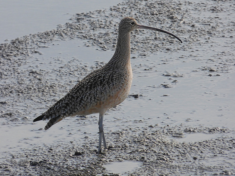 Long-billed Curlew, Numenius americanus<br /> San Leandro Reach, Alameda, Alameda Co., CA