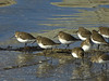 Dunlin, <em>Calidris alpina</em> Crown Beach, Alameda, Alameda Co., CA 12/28/2011