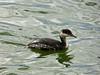 Horned Grebe, <em>Podiceps auritus</em> Ballena Bay, Alameda, Alameda Co., CA 2012/03/21