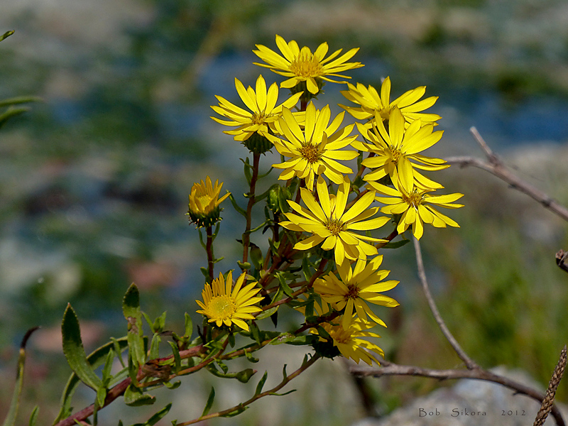 <em>Grindelia stricta var. angustifolia</em>, Marsh Gumplant, native.  <em>Asteraceae</em> (= <em>Compositae</em>, Sunflower family). Crown Beach, South Shore, Alameda, Alameda County, CA  2012/09/16  jm2p337