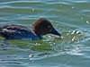 Common Goldeneye, <em>Bucephala clangula</em> Point Isabel, Richmond, Contra Costa Co., CA,  2015/01/29