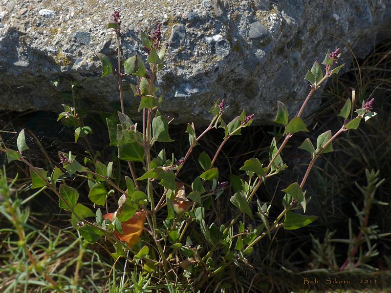 <em>Atriplex prostrata (A. triangularis)</em>, Spearscale, Eurasia Crown Beach nr Ballena Bay Harbor entrance, Alameda, Alameda County, CA,  2012/09/16,  jm2p636