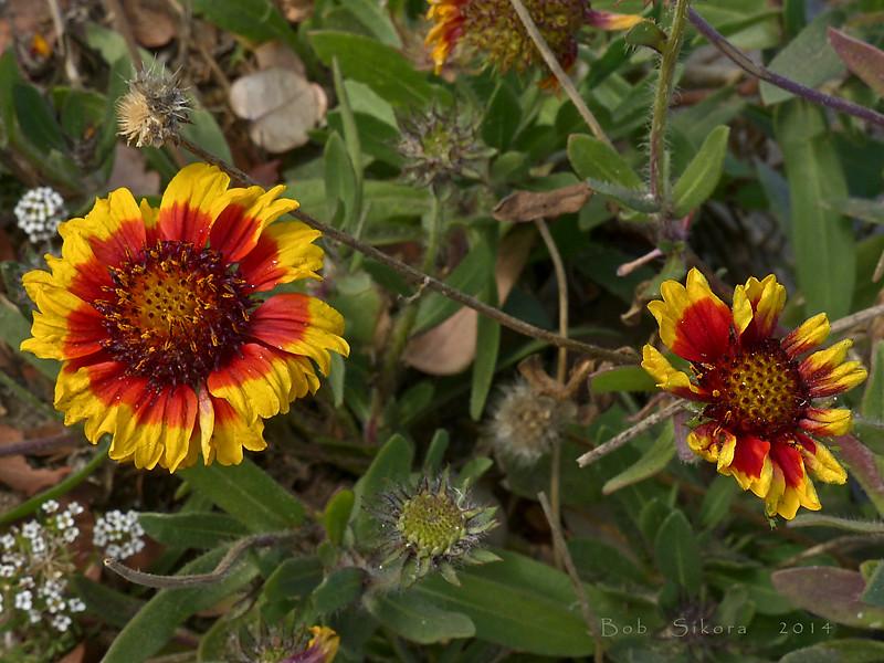 <em>Gaillardia aristata</em>,  Indian Blanket, central N. America.  <em>Asteraceae</em> (= <em>Compositae</em>, Sunflower family). Crown Beach, Alameda, Alameda Co., CA, 2014/01/24, JM2P(not shown).
