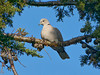 Eurasian Collard-Dove, <em>Streptopelia decaoto</em>; Tecate Cypress, <em>Cupressus guadalupensis.</em> Crab Cove, Crown Memorial State Beach, South Shore, Alameda, Alameda Co., CA 12/7/2011
