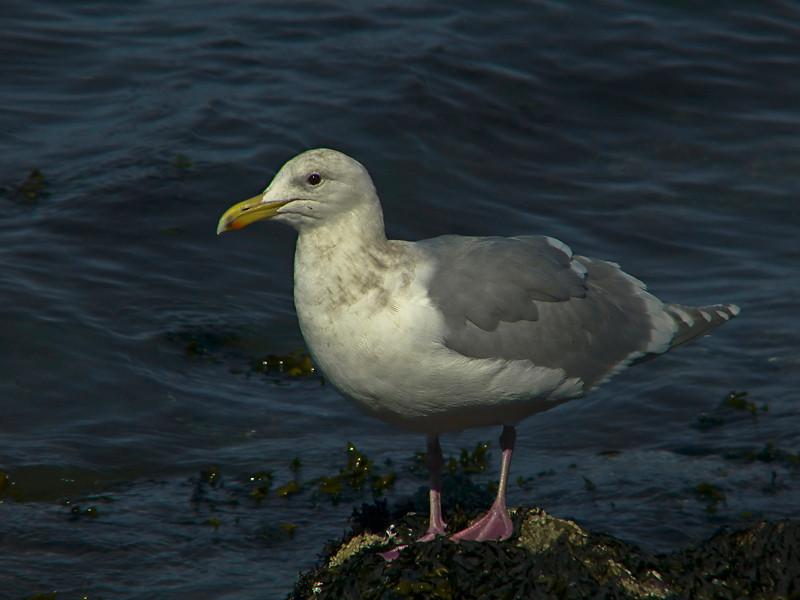 Glaucous-winged gull, <em>Larus glaucescens</em> Gullapalooza herring run Ferry Point, Richmond, Contra Costa Co., CA 2/27/2012