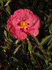 <em>Cistus purpureus</em>, Orchid Rock-rose, Europe.  <em>Cistaceae</em> (Rock-rose family). Crown Memorial State Beach, Alameda, Alameda Co., CA, 2011/11/30, jm2p(650, not present).
