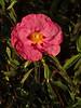 <em>Cistus purpureus</em>, Orchid Rock-rose, Europe.  <em>Cistaceae</em> (Rock-rose family). Crown Memorial State Beach, Alameda, Alameda Co., CA, 2011/11/30, jm2p(650, not present).