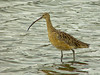 Long-billed Curlew, <em>Numenius americanus</em> Ballena Bay, Alameda, Alameda Co., CA  2012/03/22