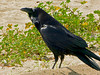 Common Raven, <em>Corvus corvax</em> Crown beach, Alameda, Alameda Co., CA 2012/3/12