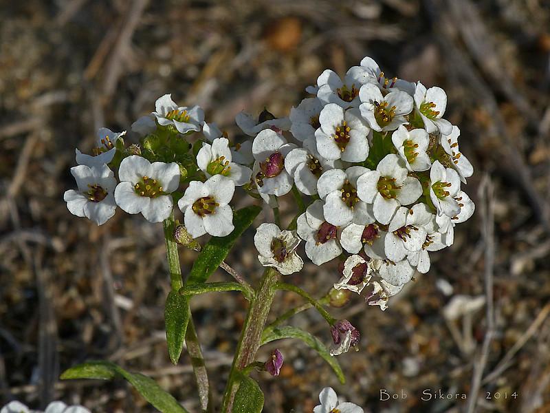 <em>Lobularia maritima</em>, Sweet Alyssum, Europe.  <em>Brassicaceae</em> (=<em>Cruciferae</em>, Mustard family). Crown Beach, Alameda, Alameda Co., CA, 2014/01/28, jm2p519