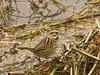 Song Sparrow, <em>Melospiza melodia pusillula</em>  (Looks a lot like Belding's Savannah). Arrowhead Marsh, San Leandro Bay, Oakland, Alameda Co., CA 1/23/2012