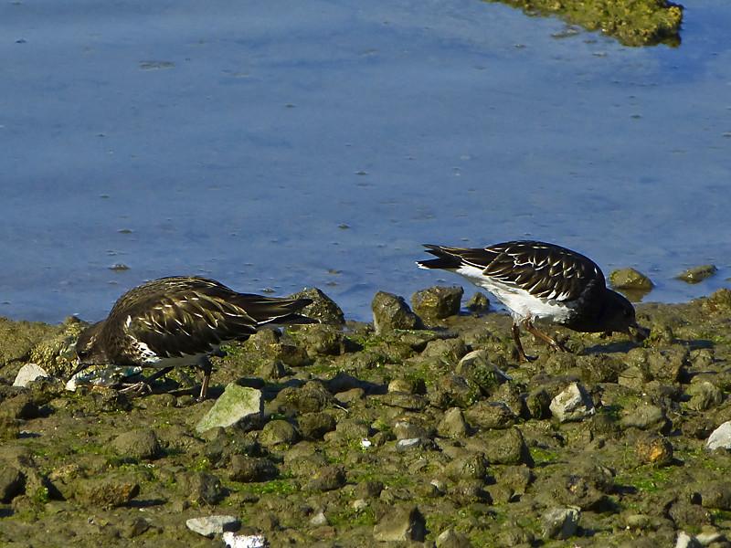 Black Turnstone, <em>Arenaria melanocephala</em> Ballena Bay, Alameda, Alameda Co., CA 1/13/2012