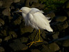 Snowy Egret, <em>Egreta thula</em> Roemer Bird Sanctuary, Crown Beach, Alameda, Alameda Co., CA 12/26/2011