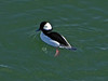 Bufflehead, <em>Bucephala albeola</em>, m. San Leandro Reach, South Shore, Alameda, Alameda Co., CA 1/6/2012