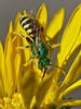 <em>Grindelia stricta var. angustifolia</em>, Marsh Gumplant, native.  <em>Asteraceae</em> (= <em>Compositae</em>, Sunflower family). <em>Agapostemon sp. (texanus?)</em>, Metallic Green Bee, male. Ballena Bay, Alameda, Alameda County, CA 2012/09/17  jm2p337