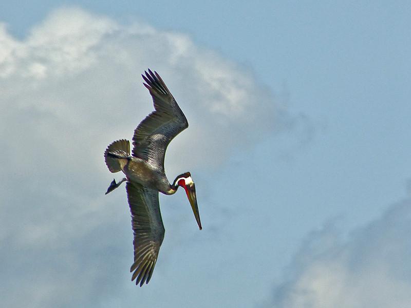Brown Pelican, <em>Pelecanus occidentalis</em> Ballena Bay, Alameda, Alameda Co., CA  2012/03/23